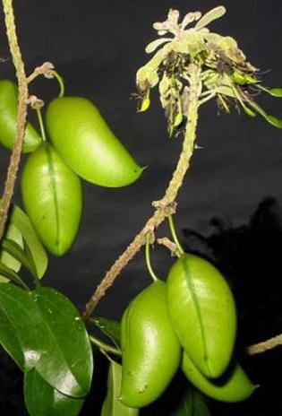 Griffonia simplicifolia 5htp